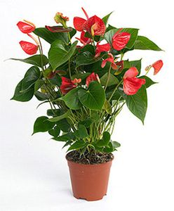 Anthurium--Flamant-rose-.jpg