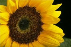 Copie de sunflower 1