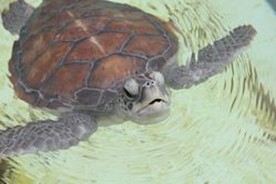 Tortues-Kelonia 0367