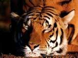 tigre-copie-1
