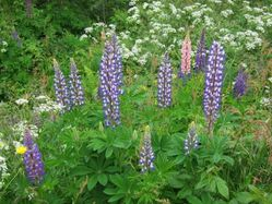 39 - lupins sauvages (6)