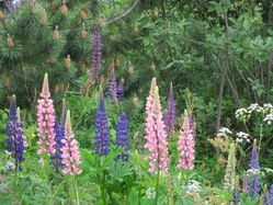 47 - lupins sauvages (7)