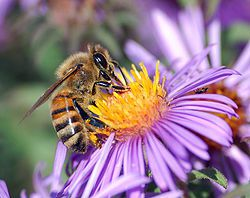 250px-European honey bee extracts nectar