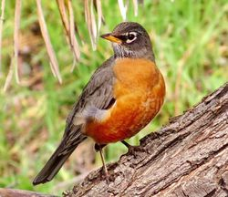 xAmerican_Robin_PR_4096.jpg.pagespeed.ic.r748_9P8p-copie-1.jpg