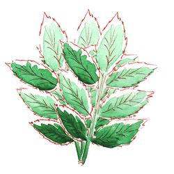 illustration-menthe-a-l-aquarelle-.jpg