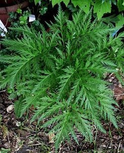 molospermum peloponnesiacum 18 05 09