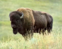 kansas bison all