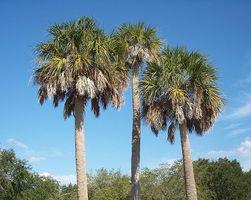 FLORIDE-Spalmetto2