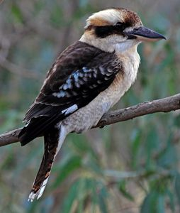 Laughing-Kookaburra.jpg