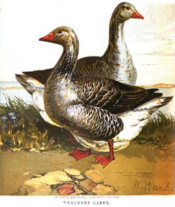 Toulouse Geese The Poultry Book 1867