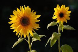 sunflowers (pair)