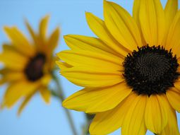 sunflower-flower-9