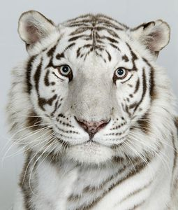 13-Ganga-an-eight-year-old-female-royal-white-Bengal-tiger