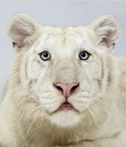 16-Ohjas-a-one-year-old-male-snow-white-Bengal-tiger