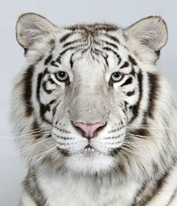 12-Loka-a-two-year-old-female-royal-white-Bengal-tiger