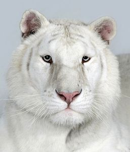 18-Sundari-a-two-year-old-female-snow-white-Bengal-tiger
