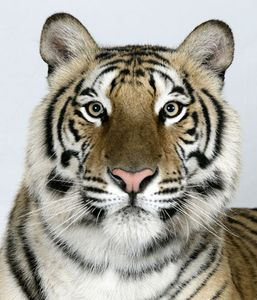 2-Jannaki-a-two-year-old-female-standard-royal-Bengal-tiger