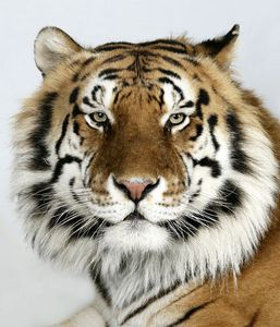4-Manu-a-eight-year-old-male-standard-royal-Bengal-tiger