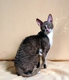 chat-cornish-rex-prince-lilas-bebopscrx-wikimedia-commons.JPG