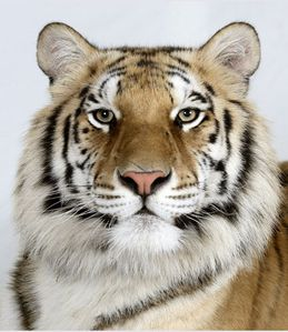 5-Matsu-a-two-year-old-female-standard-royal-Bengal-tiger