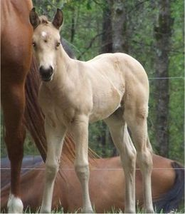 QuarterHorseFilly2Weeks1.JPG