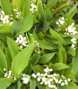 Muguet--copie-1.jpg