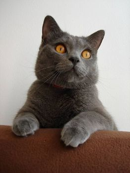 chartreux-evil-woolf78-wikipedia-blue-king-neo-autriche.jpg