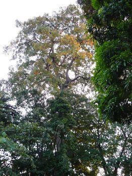 poto-poto-arbre-brazza