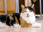 MARYLANd-Calico_cat_-_Phoebe.jpg