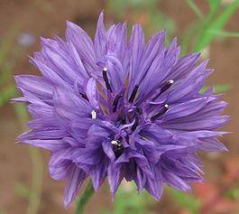 centaurea cyanus mauve 1 juil 12
