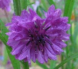 centaurea cyanus violet 1 juil 12