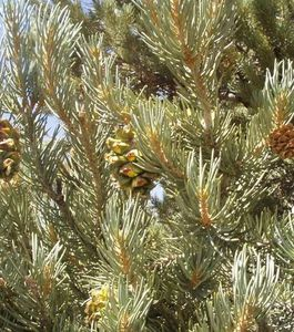 un-pin-a-pignons-de-l-espece-pinus-monophylla-credits-toiya.jpg