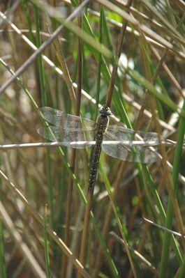 libellule (nature)