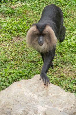 macaque-de-ouanderou--zoo-parc-de-Beauval-.jpg