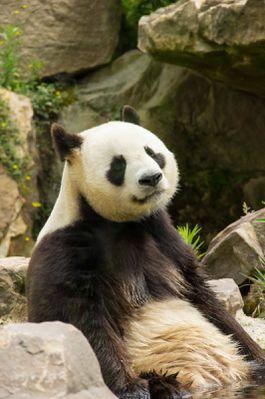 panda géant (zoo parc de Beauval)