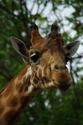 girafe du Niger (touroparc)