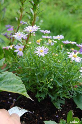 brachycome-bouquet.JPG