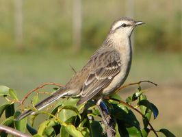 Mockingbird-_Chalk-browed2_ClaudioTimm.jpg