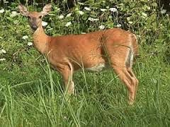 michigan white tailed deer