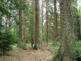 ALASKA-Picea sitchensis forest