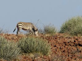 Equus zebra hartmannae wikipedia photo Hans Hillewaert