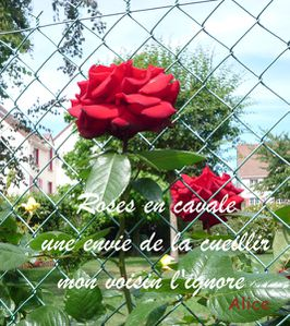 Haiku-rose-cavale
