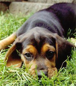 BeagleBlackTanShadowPuppy.jpg