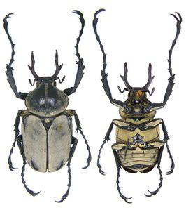 Dicranocephalus adamsi2-copie-1