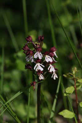 orchidée4501
