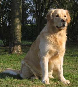golden-retriever-assisident59.jpg