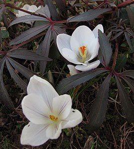 helleborus-foetidus-et-crocus-Prins-Klaus-1-mars-11.jpg