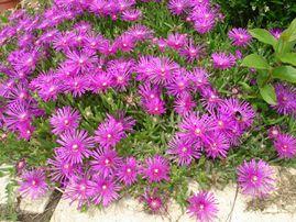 petites-fleurs-couvre-sol.JPG