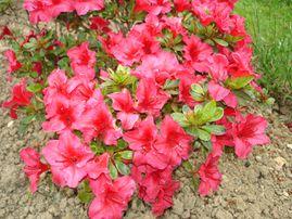 Rhododendron & Azalées