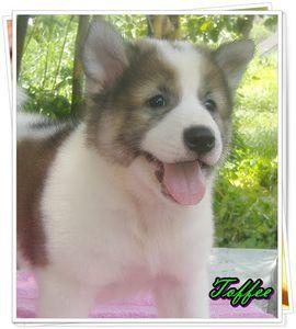 thai-bangkaew-chien-thailandais-rare